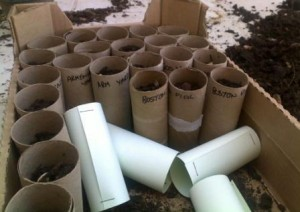 An alternative to pots, using toilet rolls or home made tubes that can be planted with the seedling. The roll biodegrades and transplanting does not set the seedling back.