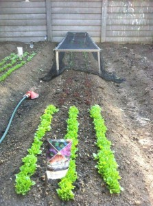 Bird-proofing the veggies. Two kinds of lettuce in the foreground.