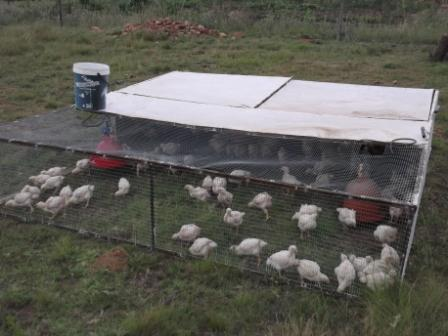 Three week old broilers enjoying the sun and grass