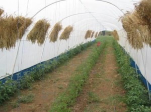 Tunnel with about 300 heirllom tomato plants. Sheaves of wheat are drying waiting to be threshed.