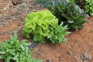 Mixed lettuce look great in the garden and on your plate.