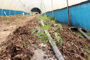 tomato_seedlings