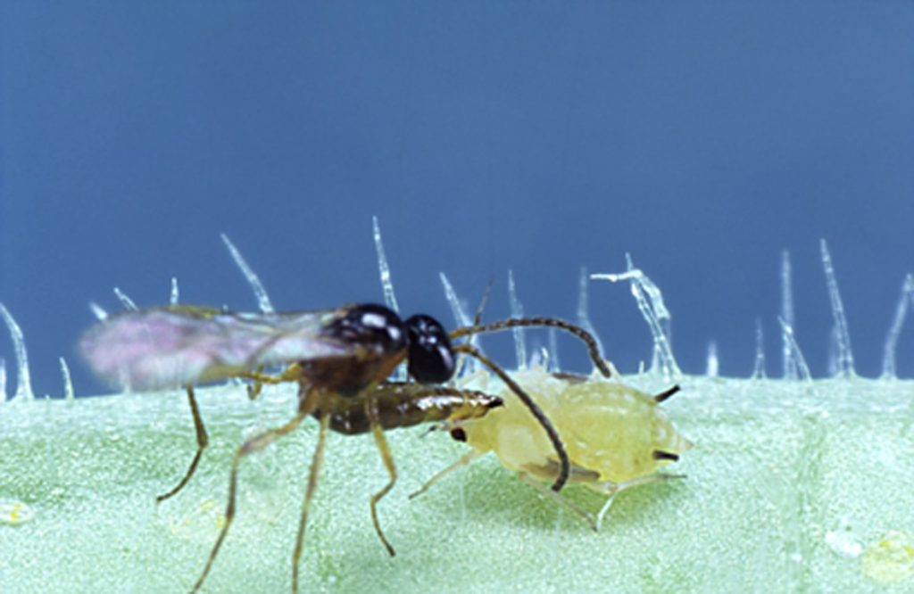Aphidius parasitic wasp laying an egg in an aphid