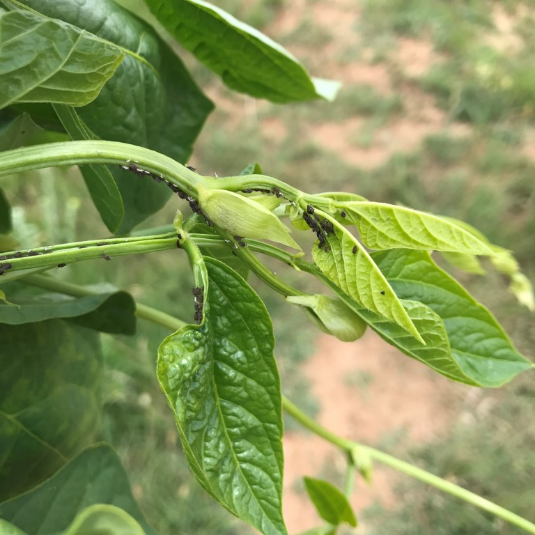 Black bean aphids carry Bean Mosaic Virus from one one from to another.